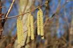 Hassel (Corylus avellana)